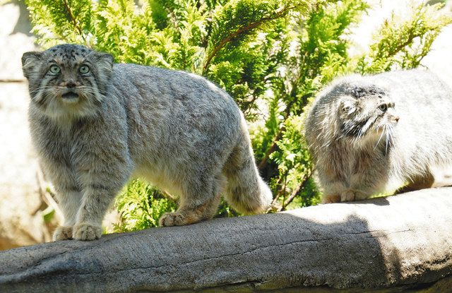 Two manul cats moving around in a new exhibition facility = in Nasu Town