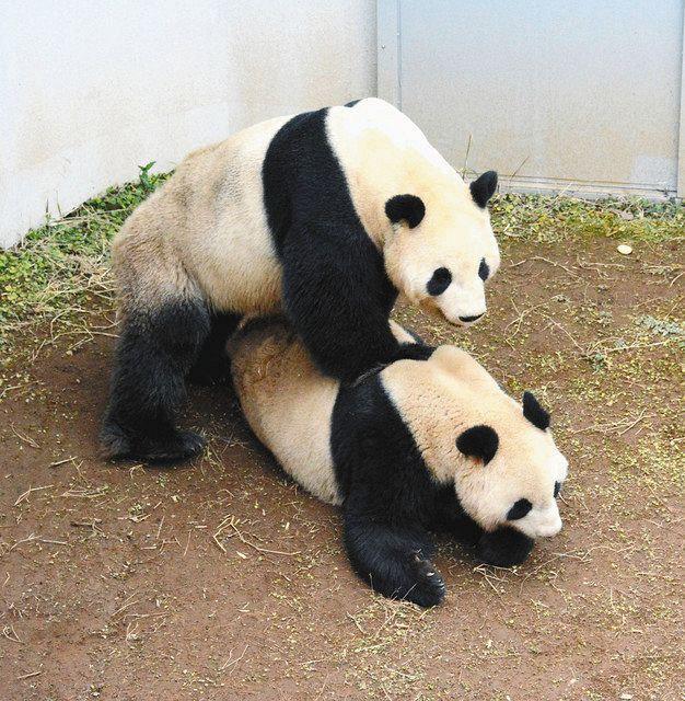 上野動物園のパンダ、シンシンとリーリーが4年ぶり交尾 赤ちゃん誕生 ...