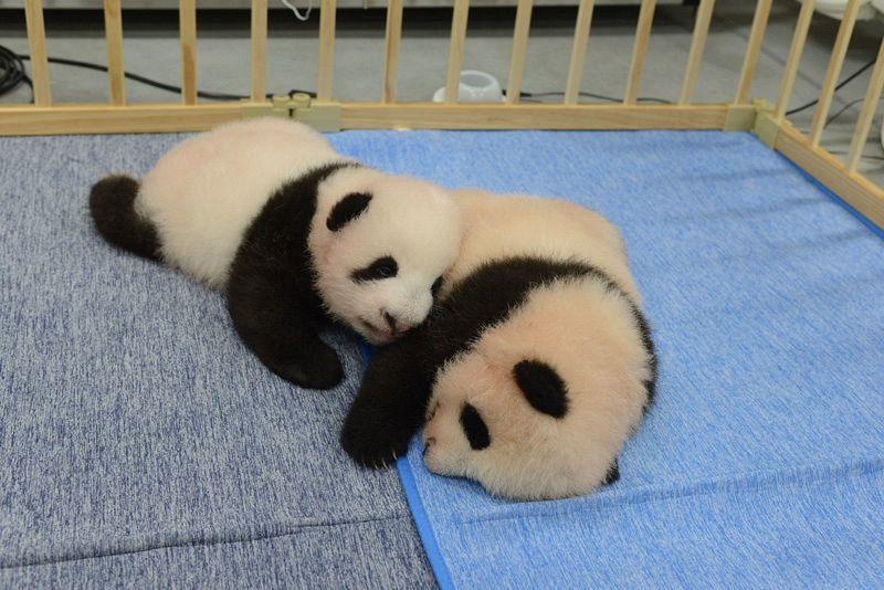 【動画】歯は生えたかな? 上野の双子ジャイアントパンダ