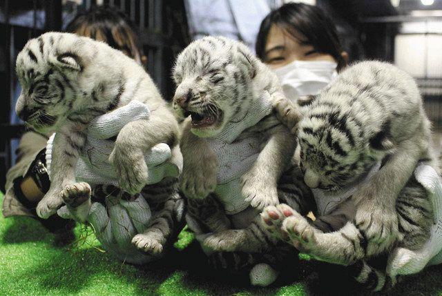 タイガー ホワイト
