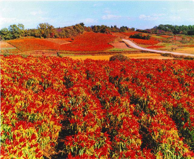 栃木三鷹の畑=大田原とうがらしの郷づくり推進協議会提供