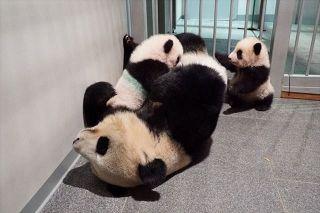 【動画】2頭一緒にシンシンママのところに戻ったよ! 上野動物園の双子パンダのシャオシャオとレイレイ