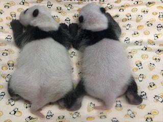 【動画】双子の赤ちゃんパンダ、すくすく成長…シンシンママと離れても鳴かずに待てるよ 上野動物園